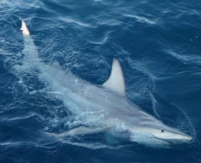 Evolution in action Scientists have discovered the worlds first hybrid shark in Australian waters